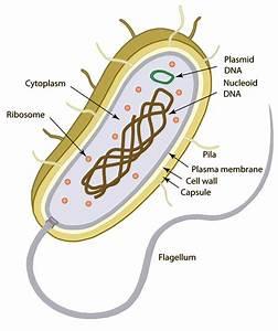 Ib Biology  U0026gt  Rott  U0026gt  Flashcards  U0026gt  Standard 2  Prokaryotic