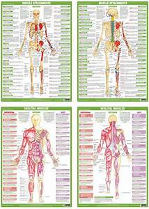 Muscle Anatomy Posters  Charts