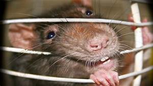 Wie Vertreibt Man Ratten : lassa fieber ursachen symptome und behandlung ~ Eleganceandgraceweddings.com Haus und Dekorationen