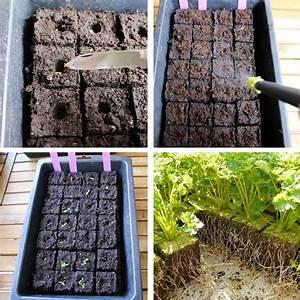 Semis De Persil : le persil plat ou fris le semer le planter et le ~ Dallasstarsshop.com Idées de Décoration