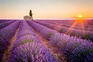 Culture De La Lavande : champs de lavande provence floraison emplacements pariscityvision ~ Melissatoandfro.com Idées de Décoration