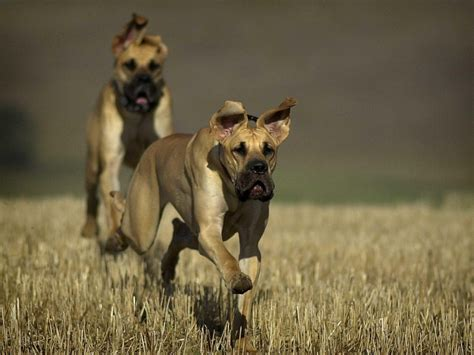 Great, Danes, Running, High, Resolution, Wallpaper, For