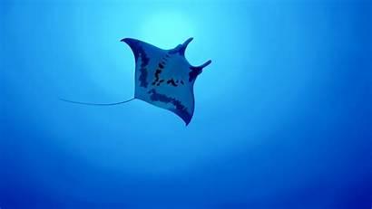 Stingray Underwater Fish Animals Mammals Animal Background