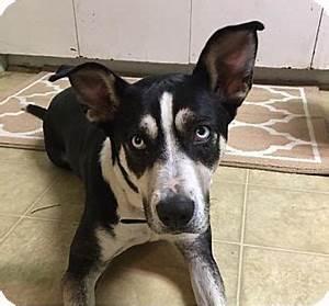 La Verne, CA - Australian Cattle Dog/Husky Mix. Meet Dori ...