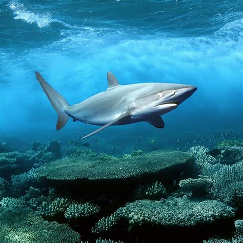 Shark Animated Wallpaper - sharks live wallpaper android apps on play