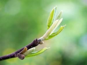 Magnolien Vermehren Durch Stecklinge : magnolie ber stecklinge vermehren eine anleitung ~ Lizthompson.info Haus und Dekorationen