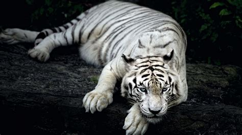 Tiger Animal Wallpaper - white tiger animal wallpapers hd wallpapers id 18057