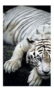 White Tiger Animal Wallpapers   HD Wallpapers   ID #18057