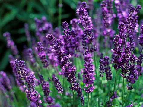 lavender maintenance english lavender hgtv