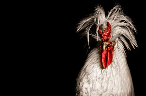 500px News 500px Blog Regal Rooster Photos To Ring In The