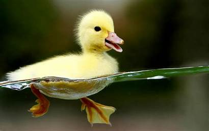 Yellow Duck Ducks Animals