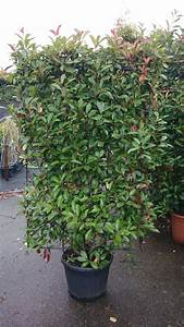 Photinia Fraseri Robusta Compacta : photinia fraseri 39 red robin 39 spalier im container 180x100 cm hxb can also be used as a hedge ~ Buech-reservation.com Haus und Dekorationen