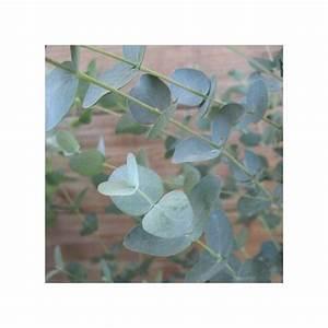 Eucalyptus Plante D Intérieur : eucalyptus gunnii plantes et jardins ~ Melissatoandfro.com Idées de Décoration