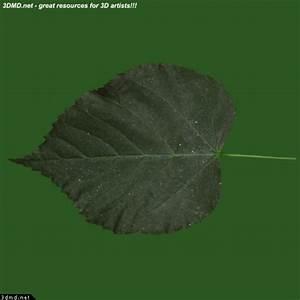 Linden Tree Leaves Textures - Teil Tree Leaf Texture ...