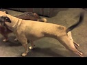 Dog with Rocky Mountain Spotted Fever - YouTube