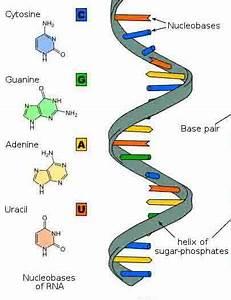 Ribonucleic Acid Structure  U0026 Function  Ribonucleic Acid