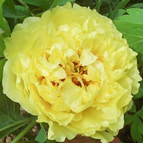 Peonija 'Yellow Crown' | Peony.lv