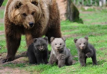 Brown Mascot History Bear Cubs University Blogdailyherald