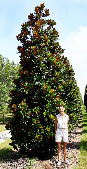 types of magnolia trees in florida types of magnolia trees in florida 28 images magnolia green giant southern affordable