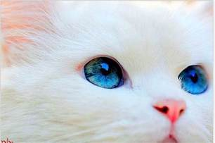 blue eyed cats the about white cats with blue with cats