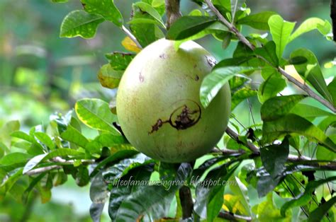 Grace Balderas Miracle Fruit Or Calabash Tree (cujete
