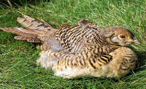 cuisiner une poule faisane le faisan une espèce de poule sauvage