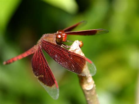 Dragonfly L by Dragonfly Fact Info And Photos 2012 The Wildlife