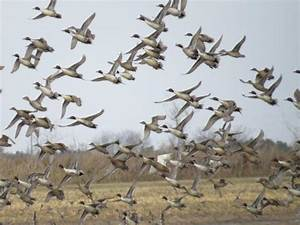 Guided Waterfowl Hunts In Texas  Guided Duck Hunting