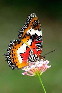Most Beautiful Butterfly Species