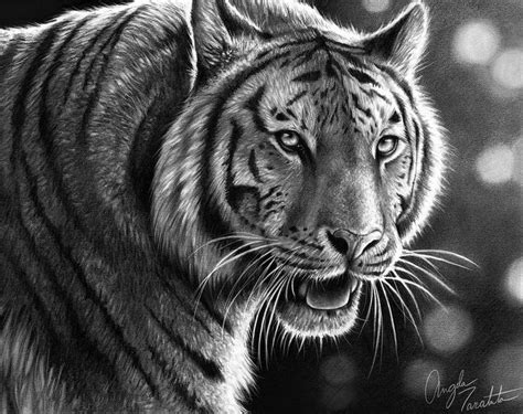 graphite pencil drawing  tiger drawings  tigers