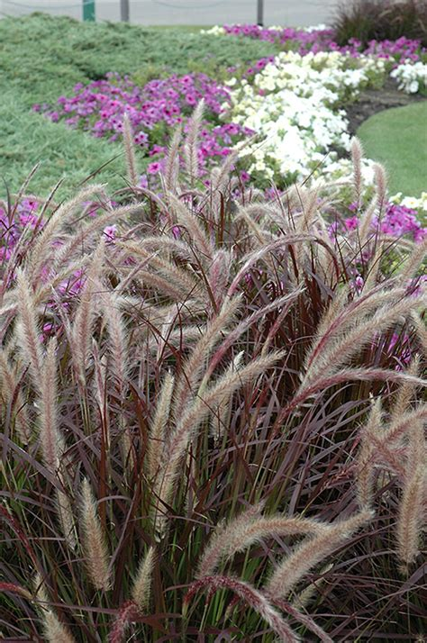 pennisetum setaceum rubrum purple grass purple fountain grass pennisetum setaceum rubrum in