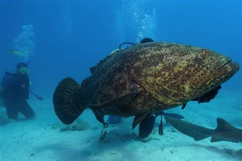 grouper goliath fish shark giant bite weight coast florida much grow chomps single pounds feet nydailynews