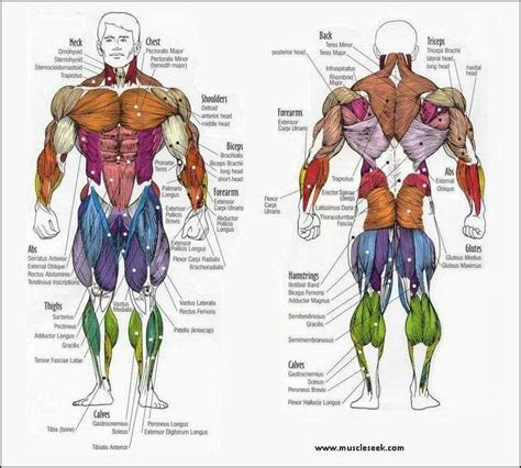 It's not essential to memorize their names, the point is to become aware of. Pin by Russ Lance on Fitness | Human body anatomy, Anatomy organs, Body diagram