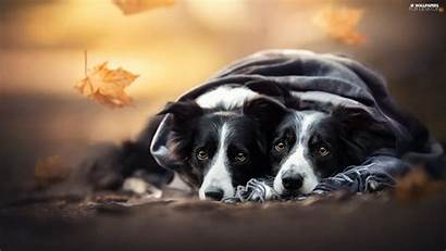 Collie Border Shawl Dogs Leaf Cars Wallpapers