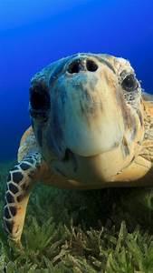 wallpaper, hawksbill, sea, turtle, , bahamas, , atlantic, , pacific