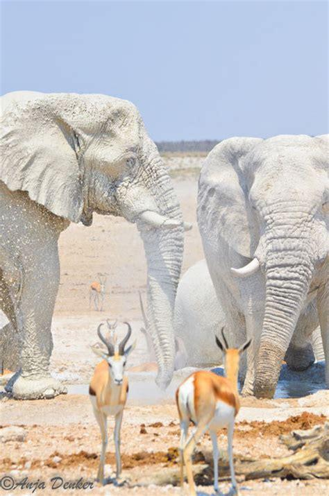 white elephant african white elephant www pixshark com images galleries with a bite