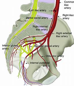 Nternal Pudendal Artery  A Branch Of The Internal Iliac Artery  And Its