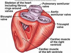 Cardiovascular System - Anatomy & Physiology with Mr ...