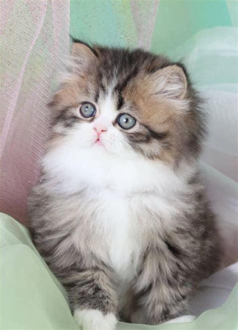 chat persan gris le chat persan en 67 photos qui vous feront aimer cette race de chats archzine fr
