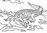 Coloring Pages Crocodile Crocodiles Keyword sketch template