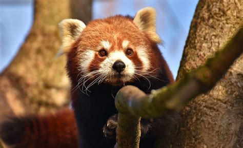 Top 10 Cutest Animals Red Panda