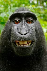 No Monkey Business Here  The Monkey Selfie Copyright Case