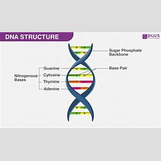 Dna Structure  Discovery, Replication, Functions, And Diagram Of Dna