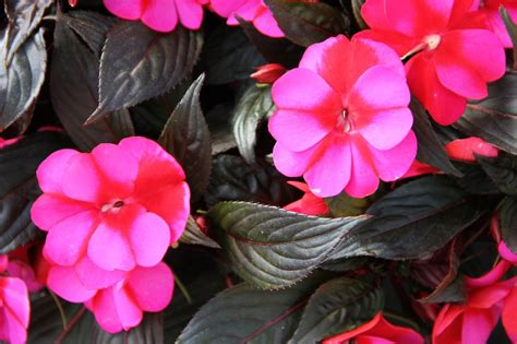 new guinea impatiens a new new guinea impatiens greenhouse product news