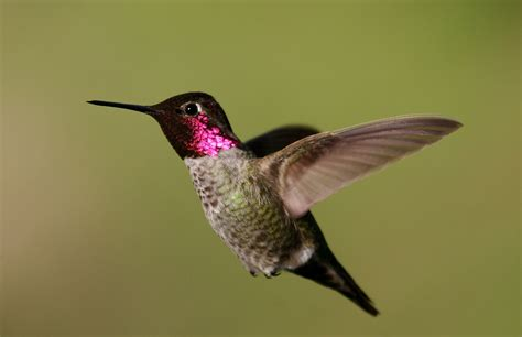 anna s hummingbird wikipedia