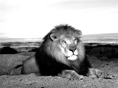 Lion Wallpaper Black And White