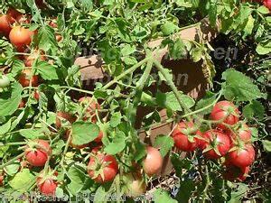 Tomaten Balkon Kübel : garden pearl zimmertomate 10 samen sehr selten tomaten f r balkon und k bel ebay ~ Yasmunasinghe.com Haus und Dekorationen
