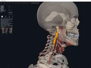 Muscles  Longus Capitis   U2013 Anatomy  U0026 Physiology