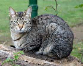 domestic cat breeds domestic cat breeds cats types