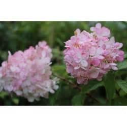 hortensia vanille fraise hortensia vanille fraise hydrangea paniculata vanille fraise